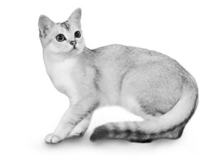 posters front view of british shorthair cat sitting.jpg 300x229 - Nuestro Blog: biblioteca virtual