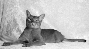 posters front view of british shorthair cat sitting.jpg 300x167 - Nuestro Blog: biblioteca virtual