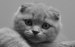1200px Scottish Fold lila 300x188 - Nuestro Blog: biblioteca virtual