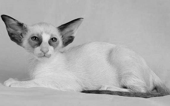 Seychellois cat - Seychellois