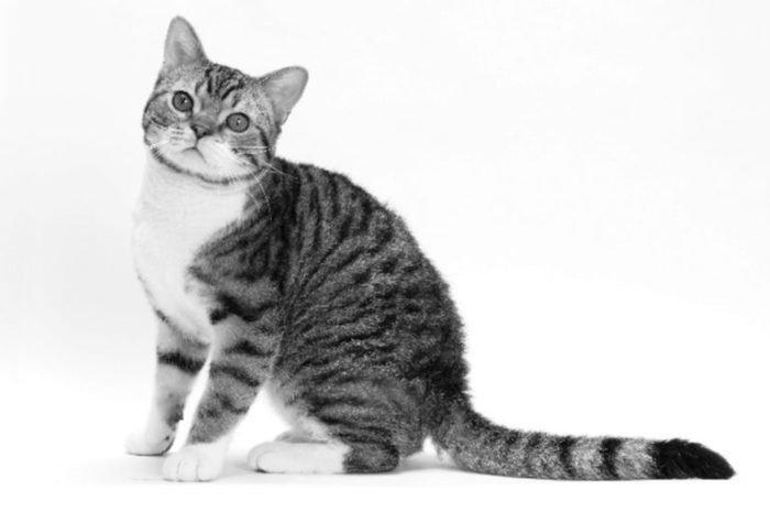 posters front view of british shorthair cat sitting.jpg 700x465 - American wirehair