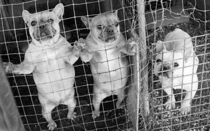 26815036 1533958566686277 4205549175375028319 n 1 700x437 - Superpoblación de Mascotas y Criadores Fábricas de Perros y Gatos
