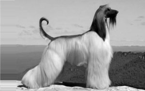 Afghan Hounds Origin Afghan Hound Dogs and Puppies 300x188 - Nuestro Blog: biblioteca virtual
