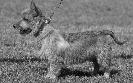 Australian Terrier 002 U 520x325 - Terrier Australiano