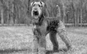 airedale terrier 1 300x188 - Nuestro Blog: biblioteca virtual