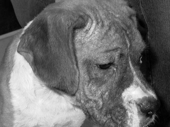 demodexmange2 700x525 - Demodicosis en perros