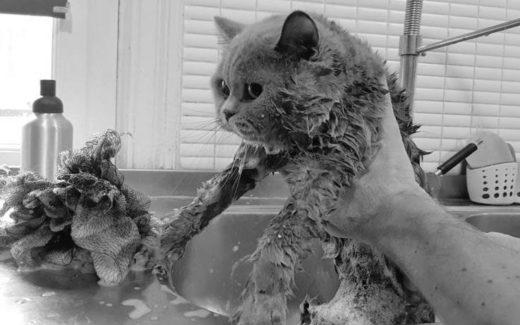 shutterstock 41318203 Copy 650x300 520x325 - ¿Debo bañar a mi gato?