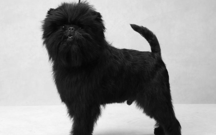 subDOG refer jumbo 700x438 - Affenpinscher