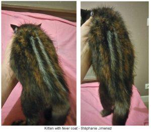 Foto3 300x262 - Fever Coat, Manto Febril o Manto de Fiebre en gatos