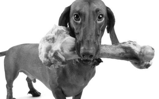gato arabe 520x324 - Por qué una dieta cruda es buena para perros