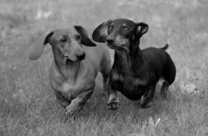 dachshunds 300x197 - Nuestro Blog: biblioteca virtual