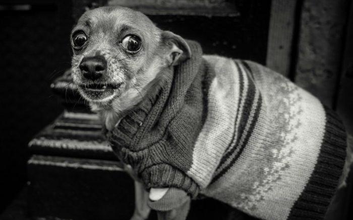 dachshunds22222 700x438 - Leishmaniasis en perros