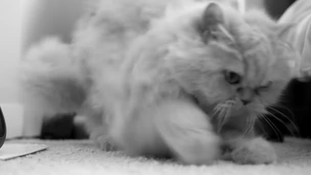 depositphotos 151609852 stock video motion of persian cat cleaning1 - Enfermedad poliquística renal en gatos (PKD)