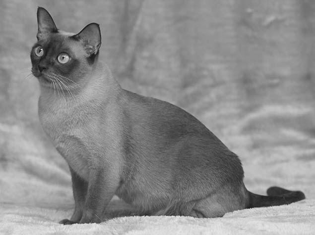 Cat Burmese Desktop - Defecto Craneofacial en Burmés (BHD)