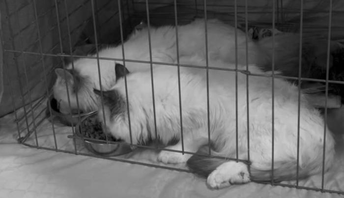 ginger cat lazing 700x403 - Infórmese antes de adquirir una mascota de raza