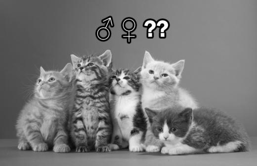 53806370 2331210340483601 2273407059712016384 o 1 520x335 - Cómo Determinar el Sexo de un Gatito