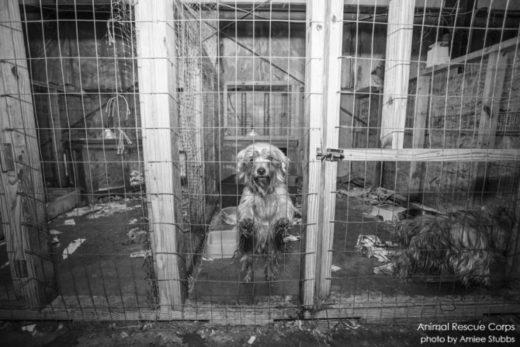 5a0af9e3581fb 520x347 - ¿Qué es un backyard breeder (criador de patio) y una fábrica de cachorros?