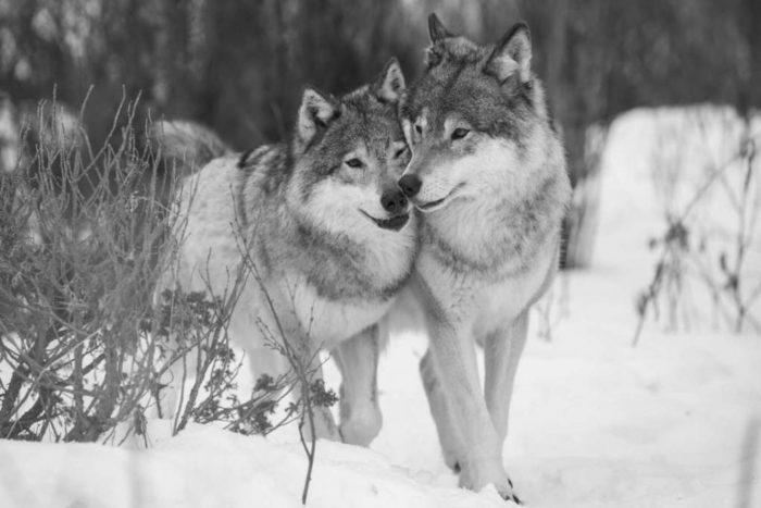 download 2 700x467 - Origen del Perro - Del Lobo al Chihuahua