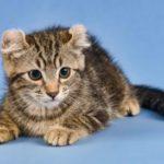 258491 425x274 american curl cat 2 150x150 - American Curl
