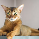 abyssinian cat lying inside pet insurance for abyssinian cats bow wow meow 150x150 - Abisinio