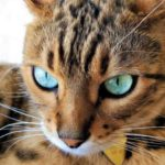How To Tell If A Cat Is Bengal Or Not 758x475 1 150x150 - Bengal