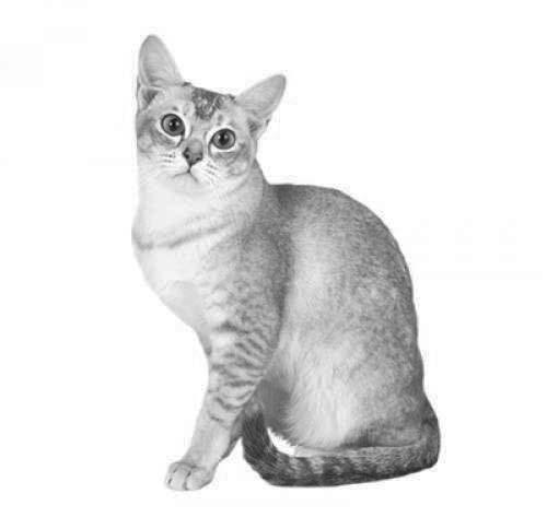 cat burmilla - Burmilla