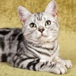 download 14 150x150 - American Shorthair