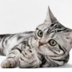 download 15 150x150 - American Shorthair