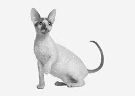 download 20 1 - Cornish Rex