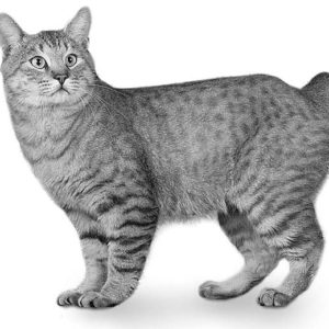 images 15 1 300x300 - American Bobtail
